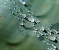 Droplets-on-leaf-1.png